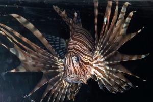 Lion_fish