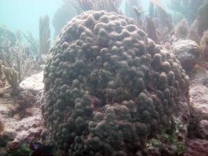 Boulder coral